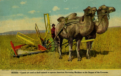 1910 postcard of camels being used to farm in Russia